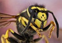 Vespe aliene: rischio allergie e shock anafilattico. Come difendersi?